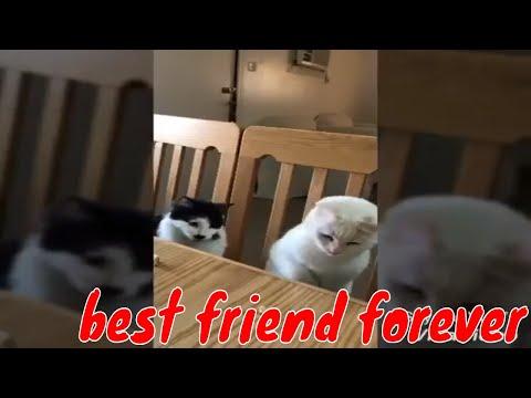 BFF of skye,  meet SHEEFA-  norwegian forest cat