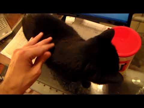 Rachel the Bombay Cat Update June, 2018