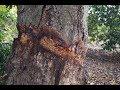 ¿Que sucede si anillamos el tallo principal de un árbol?