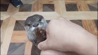 カワウソのちっちゃいお手手がくすぐったいです The otter's tiny hands are tickling