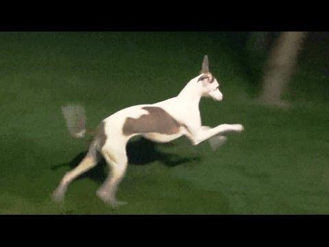 Italian Greyhounds BUG BINGE..... yum yums