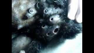Repeat youtube video Botfly - Opice vs parazit (Parasites and Monkey)
