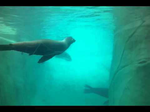 Brookfield Zoo - Seals