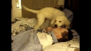 Golden Retriever - Puppy- Morning Wake Up Call