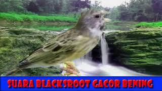 Gambar cover Suara Blackthroat GACOR Jernih cocok untuk terapi masteran KENARI YS, AF, F2, F1