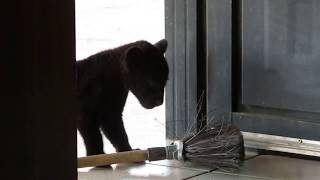 Baby black jaguar vs broom