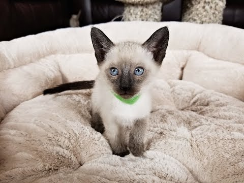 Silly Seal Point Siamese Kitten Video...Way Too Cute!