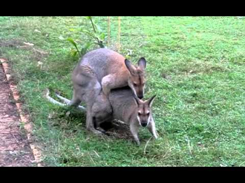 Red necked wallaby mating
