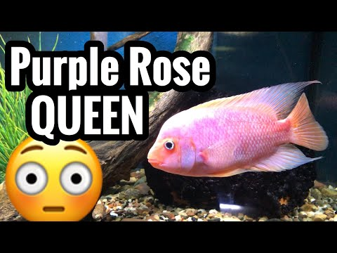 Purple Rose Queen Cichlid - Red Devil Hybrid