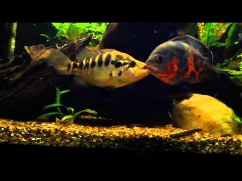 Jaguar cichlid vs tiger oscar cichlid.