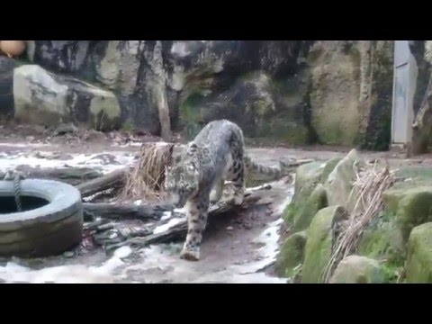 【4K】Snow leopard in the Winter at Tamazoo, Tokyo, Japan