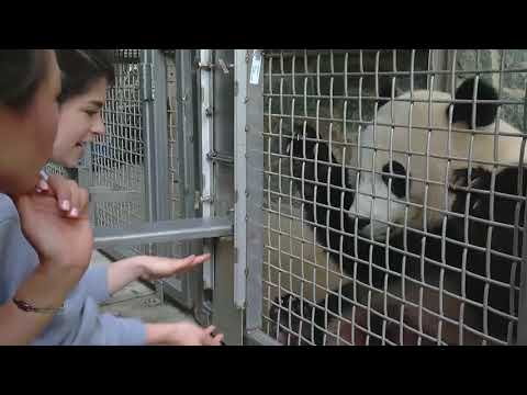 National Zoo animal keeper works on training with young panda, Bei Bei