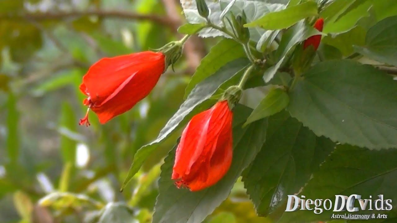 Malvaviscus Arboreus Hibisco Colibri Turkcap Sleeping Hibiscus