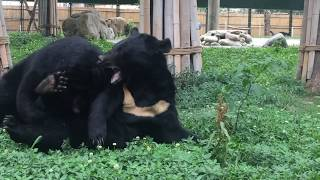 Five brave bears welcomed home after lifetime of bile farm cruelty