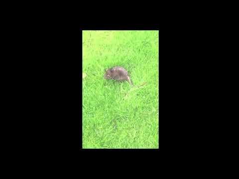 Rat Burnage