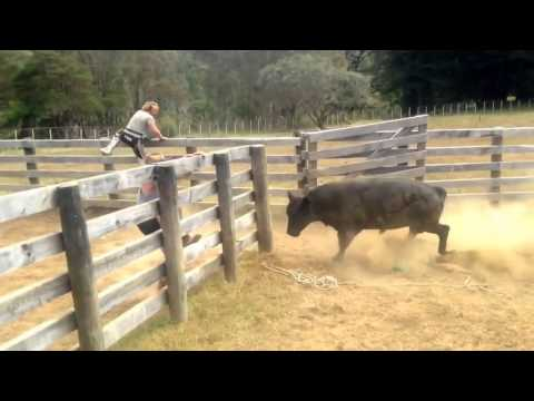 Mangatoi Station, Cattle muster & bull catching.