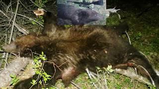 Охота на медведя на приваде в 2020