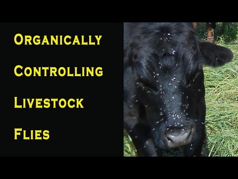 Controlling Horn Flies On Cattle Organically / Face Fly Control