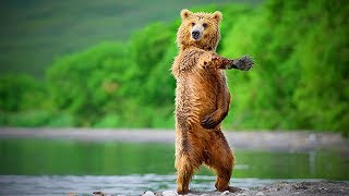 Funny Bears  😂 😂 Cute Bears Doing Things Funny (Part 1) [Funny Pets]