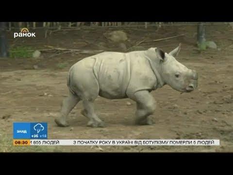Вопрос: В каком африканском королевстве живут белые носороги?