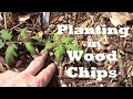 Planting Tomatoes in a Back to Eden Style Wood Chips Garden.