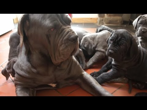 Big Sister Is The Best Puppy Sitter for Neapolitan Mastiffs Puppies!