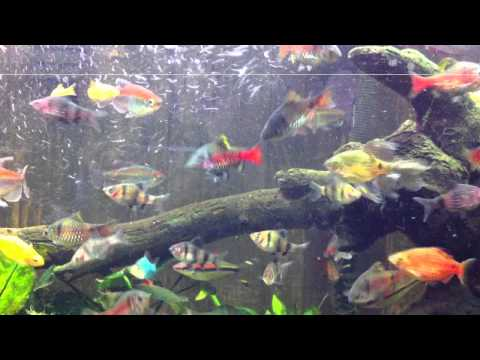 Assorted barbs, tetras, rainbow fishes in a community tank