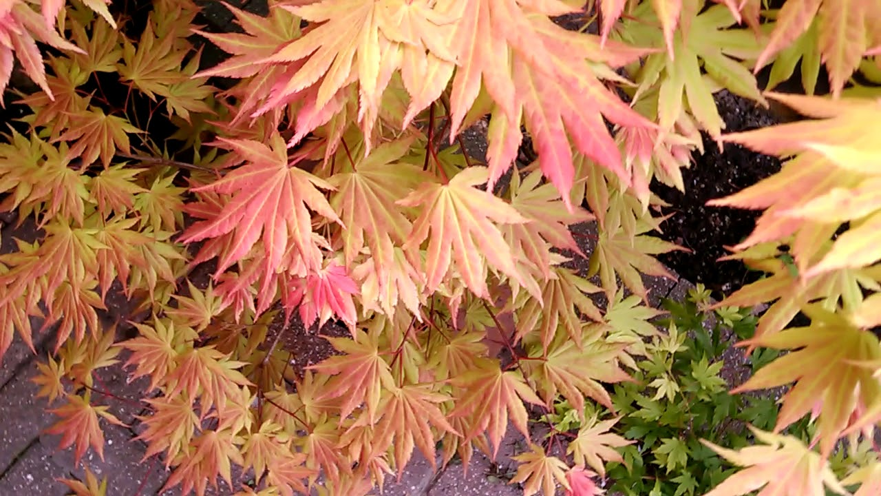 Acer Shirasawanum Aureum Autumn Moon Moonrise In Spring