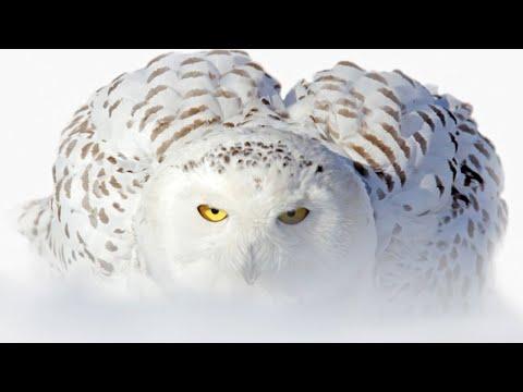 Белая сова - эксперт БЕСШУМНОЙ охоты! Интересные факты о полярной сове.