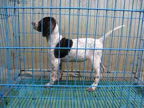 Pointer Puppies For Sale Litter1 Pup4 Female Youtube