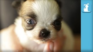 70 Seconds Of Adorable Chihuahua Puppies - Puppy Love