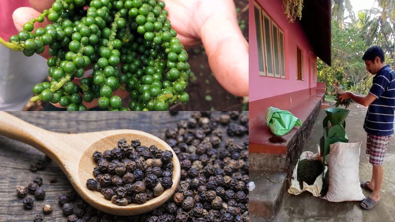 Black Pepper Thresher Machine | Modern Agriculture Technology