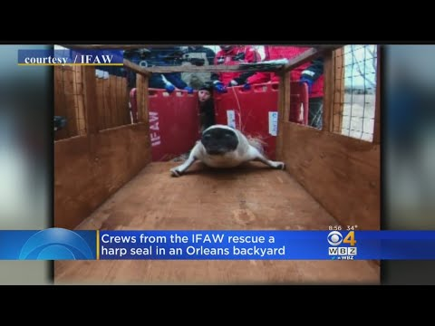 IFAW Crews Rescue A Seal Stranded In Orleans Backyard