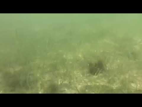 Seagrass_short (Sailfish Flats)