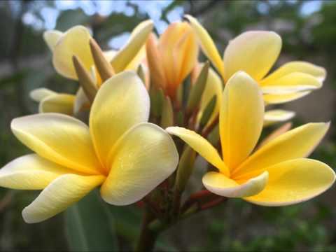 frangipani classical avant garde