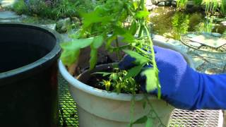Growing Tomatoes in Containers