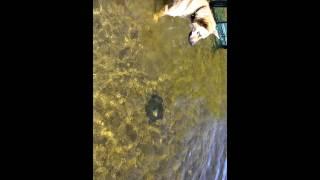 Rex en plongé pour aller chercher le frisbee