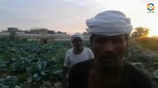فيديو وصور| ارتفاع التكلفة يضاعف خسارة محصول الكرنب بنجع حمادي | النجعاوية