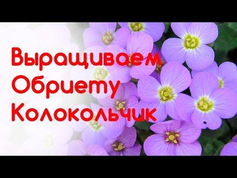 Колокольчик равнолистный Цветок Жених и невеста