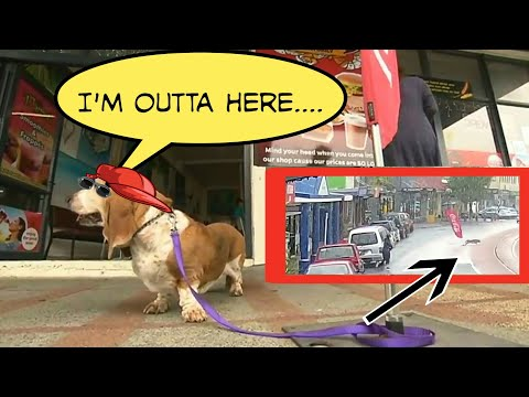 Lily the Basset Hound Dog - Hilarious Escape from Owner - Runs Away tied to Coca Cola Flag