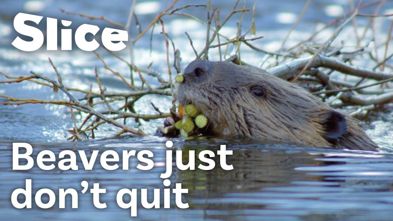 Download How Do Beavers Build a Dam | SLICE