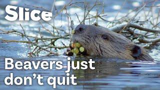 How Do Beavers Build a Dam   SLICE