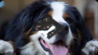 beautiful pictures of dog breed Bernese Mountain Dog