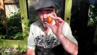 Tomatoes, determinate, indeterminate, How to prune, I love Tomatos, Grow someplace Garden