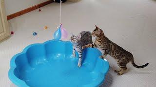 Bengal Kittens Pop Water Balloons | 4K #StayHome