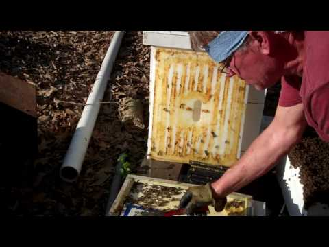 My Bees are preparing to swarm. Beekeeper takes action