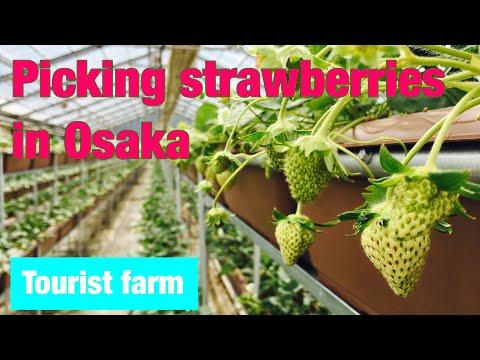 【Strawberry picking tourist farm Kishiwada City, Osaka Prefecture】February「osaka morning 34 JAPAN」