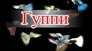 Аквариумная рыбка гуппи (часть1)