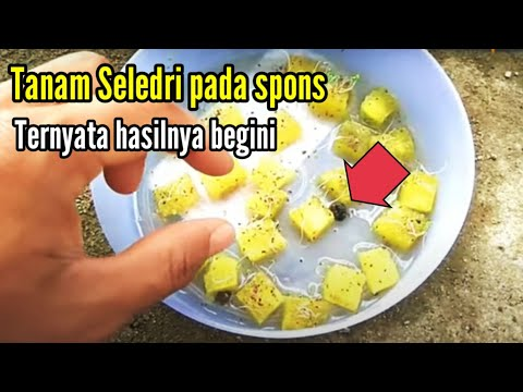 plant-celery-seeds-in-glass-pots,-from-seeds-to-growing-up