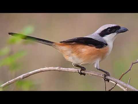 luyện Bách Thanh non hót đủ một số các loại giọng chim ngoài tự nhiên 30 phút mỗi ngày #1